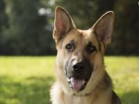 Τα σκυλιά «μυρίζουν» τον καρκίνο